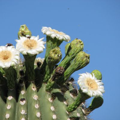 The Arizona state flower, the Saguaro Cactus Blossom