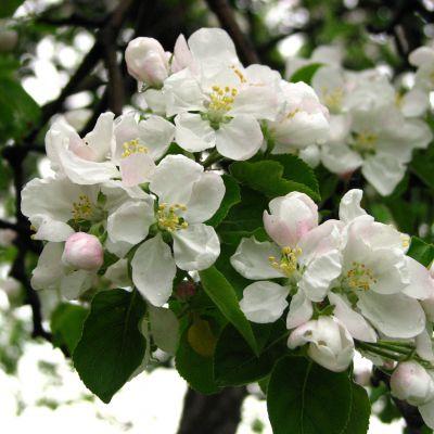 The Arkansas state flower, the Apple Blossom
