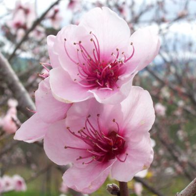 The Delaware state flower, the Peach Blossom