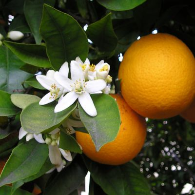 The Florida state flower, the Orange Blossom