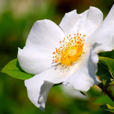 The Georgia state flower, the Cherokee Rose