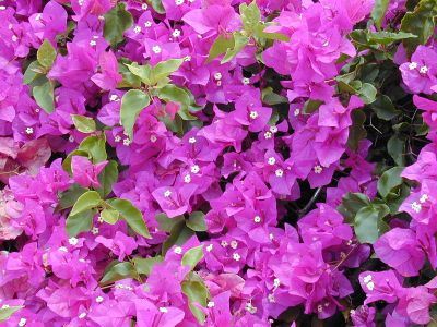 The Guam state flower, the  Bougainvillea Spectabilis