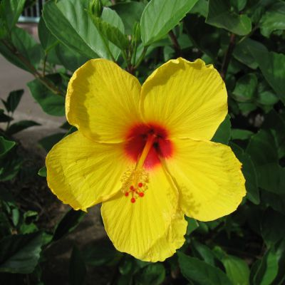 The Hawaii state flower, the Hawaiin Hibiscus