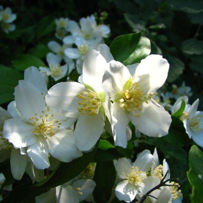 The Idaho state flower, the Syringa