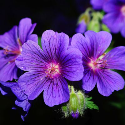 The Illinois state flower, the Violet
