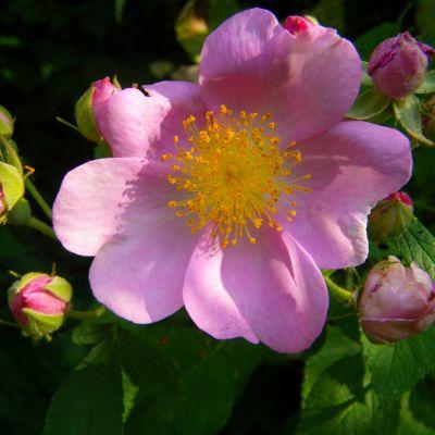 The Iowa state flower, the Prairie Rose