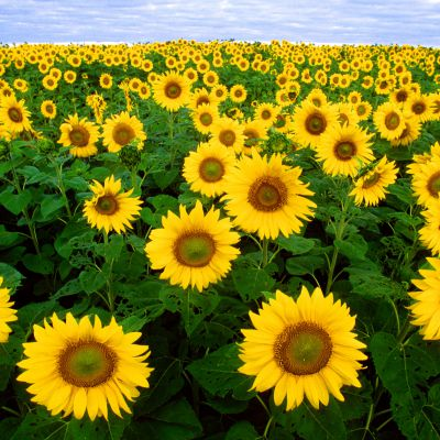 The Kansas state flower, the Sunflower