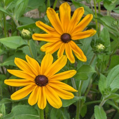 The Maryland state flower, the Black-Eyed Susan