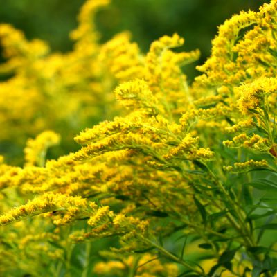 The Nebraska state flower, the Goldenrod