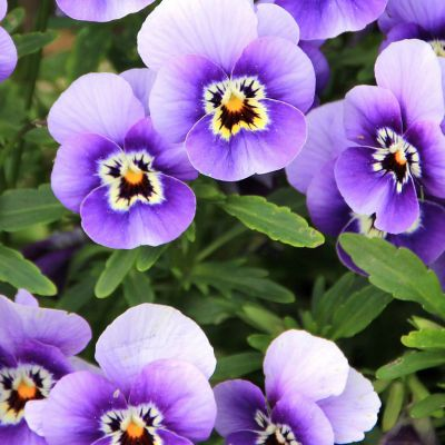 The New Jersey state flower, the Violet