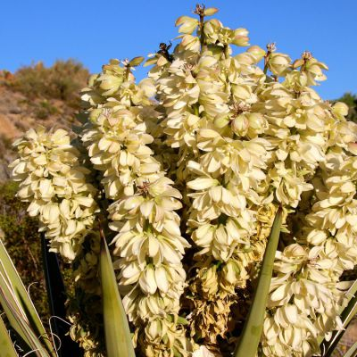 The New Mexico state flower, the Yucca Flower
