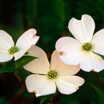 The North Carolina state flower, the Flowering Dogwood