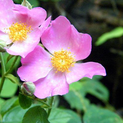 The North Dakota state flower, the Wild Prairie Rose