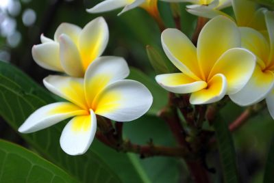 The Northern Mariana Islands state flower, the  Flores Mayo