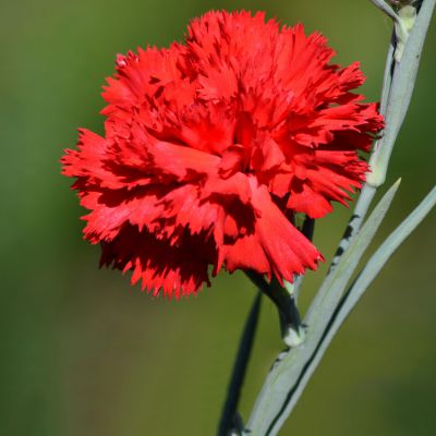 The Ohio state flower, the Scarlet Carnation