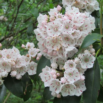The Pennsylvania state flower, the Mountain Laurel