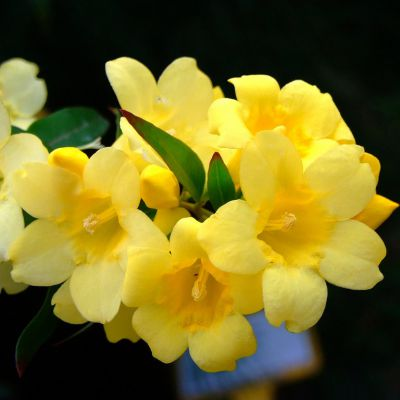 The South Carolina state flower, the Yellow Jessamine