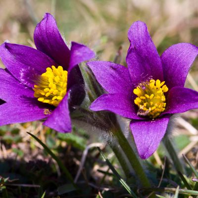 The South Dakota state flower, the Pasque Flower