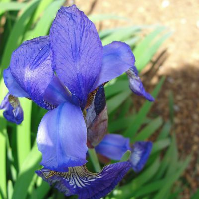 The Tennessee state flower, the Iris