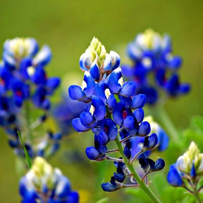 The Texas state flower, the Bluebonnet