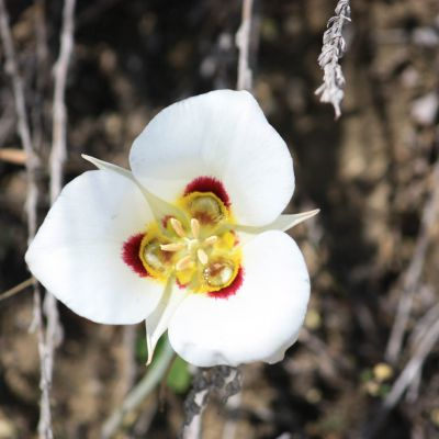 The Utah state flower, the Sego Lily