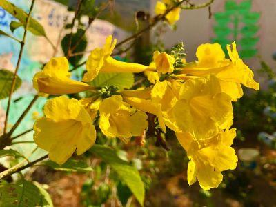 The Virgin Islands, U.S. state flower, the  Yellow Elder