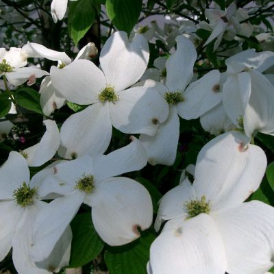The Virginia state flower, the American Dogwood