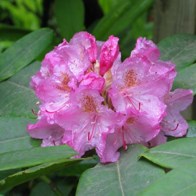 The Washington state flower, the Coast Rhododendron