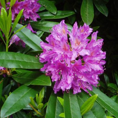 The West Virginia state flower, the Rhododendron