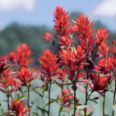 The Wyoming state flower, the Indian Paintbrush